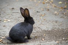 Bunny on the road. Lonely black bunny on the road Royalty Free Stock Photos