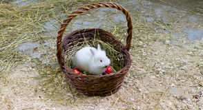 Bunny sitting in a basket with easter eggs Royalty Free Stock Image
