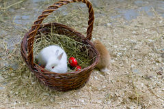 Bunny sitting in a basket with easter eggs Royalty Free Stock Photos