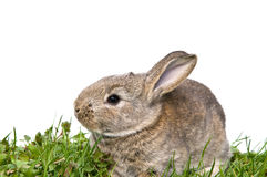 Bunny sitting in grass Royalty Free Stock Photos