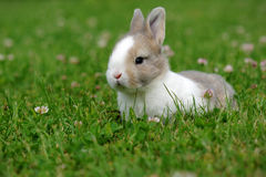 Bunny sitting in green grass. Funny bunny sitting in green grass Royalty Free Stock Photo