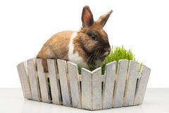 Bunny sitting in white pot with grass Royalty Free Stock Photography