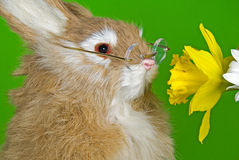 Bunny smelling daffodil Royalty Free Stock Image