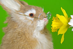 Bunny smelling a daffodil Royalty Free Stock Photos