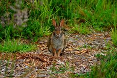 Bunny staring. Royalty Free Stock Photography