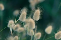 Bunny Tails Grass immagine stock