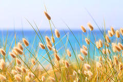Bunny Tails Grass Fotografia Stock Libera da Diritti