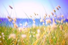 Bunny Tails Grass Lagurus Ovatus Royalty-vrije Stock Foto