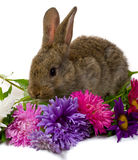 Bunny Take Aster Flowers Royalty Free Stock Photos