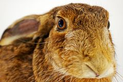 Bunny taxidermy Stock Photos