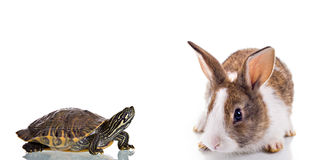 Bunny and Turtle. Cute Bunny and Turtle, isolated on white background. Concept: Competition royalty free stock image