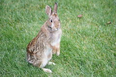 Bunny on two feet. Stock Photography