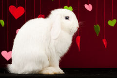 Bunny with valentines. Valentine rabbit Stock Photography