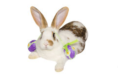 Bunny with violet easter eggs on ears. Stock Image