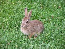 Bunny watching for anything in grass Royalty Free Stock Photography