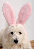 bunny westie Στοκ Φωτογραφίες