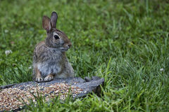 Bunny!!!. A wild brown rabbit stands alert in front of a pile of bird seed amid a field of grass Stock Photography