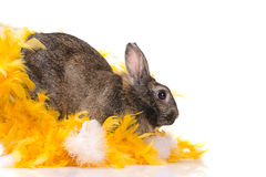 Bunny in yellow feathers Royalty Free Stock Images