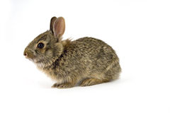 Bunny11. Cute wild rabbit isolated on white Royalty Free Stock Photos