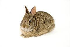 Bunny12. Cute wild rabbit isolated on white Royalty Free Stock Images