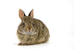 Bunny5. Cute wild rabbit isolated on white Royalty Free Stock Image