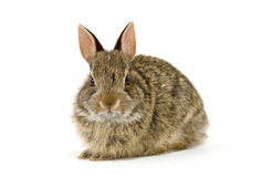 Bunny8. Cute wild rabbit isolated on white Royalty Free Stock Image