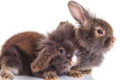 Bunnys capi del coniglio del leone che si riposano sul fondo bianco Fotografie Stock Libere da Diritti