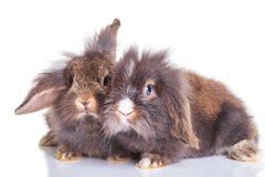 Bunnys capi del coniglio del leone che si riposano sul fondo dello studio Fotografia Stock Libera da Diritti