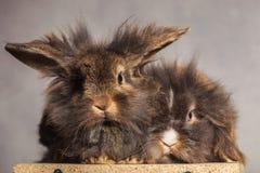 Bunnys peludos del conejo de la cabeza del león que miran la cámara Imagen de archivo libre de regalías