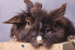 Bunnys peludos del conejo de la cabeza del león que se sientan junto Foto de archivo