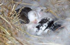 Bunnys pequenos no ninho Fotografia de Stock Royalty Free