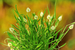 Bunnytail grass clump (Lagurus ovatus) Royalty Free Stock Photos