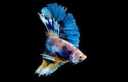 Bunt mit Hauptfarbe von blauen betta Fischen, Siamesischer Kampffisch wurde auf schwarzem Hintergrund lokalisiert Fischen Sie auc stockfoto