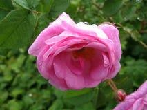 Bunt, schön, empfindlich stieg in den Garten stockbild