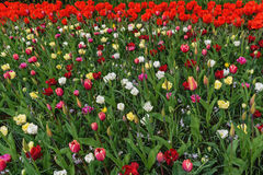 Bunt tulpen, narzissen in niederländischen Frühling Keukenhof-Gärten Blühendes Blumenbeet horizontal Stockfotos