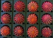 Bunt vom Kaktus lizenzfreies stockbild