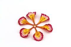 Bunt vom Kamm des Pfaus lässt Blumen oder Caesalpinia pulch Stockbild