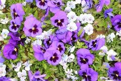 Bunt von den Violablumen stockfotos