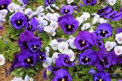 Bunt von den Violablumen im Garten stockfotos