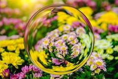 Bunt von der Chrysantheme blüht im Glaskugeleffekt mit unscharfem Blumenhintergrund Stockfoto