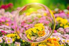 Bunt von der Chrysantheme blüht im Glaskugeleffekt mit unscharfem Blumenhintergrund Lizenzfreies Stockfoto