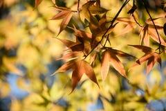 Bunte Ahornblätter hintergrundbeleuchtet gegen die Farbe des Herbstwaldes lizenzfreies stockbild