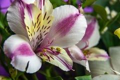 Bunte Alstroemeriablumen Ein großer Blumenstrauß von mehrfarbigen Alstroemerias im Blumenladen werden in Form eines Geschenks ver stockfotografie