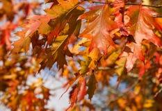 Bunte Autumn Oak-Blätter Lizenzfreies Stockfoto