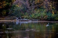 Bunte Bäume des Herbstes Parkvögel, die im Wasser schwimmen Helle Rotblätter Lizenzfreie Stockfotos