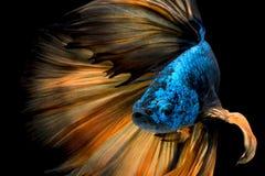 Bunte Betta-Fische, Siamesischer Kampffisch Stockfotos