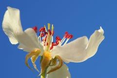 Bunte Birnenblütennahaufnahme stockfoto
