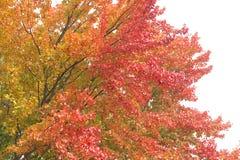 Bunte Blätter auf dem Baum, weißer Himmel Stockfoto