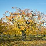 Bunte Blätter auf Kirschbäumen im Herbstkirschgarten nahe odijk in der Provinz von Utrecht in den Niederlanden lizenzfreies stockbild