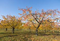 Bunte Blätter auf Kirschbäumen im Herbstkirschgarten nahe odijk in der Provinz von Utrecht in den Niederlanden stockfotos